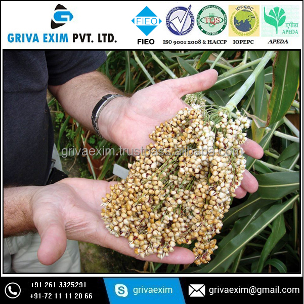 Chinese Bulk White Sorghum For Birds Feed