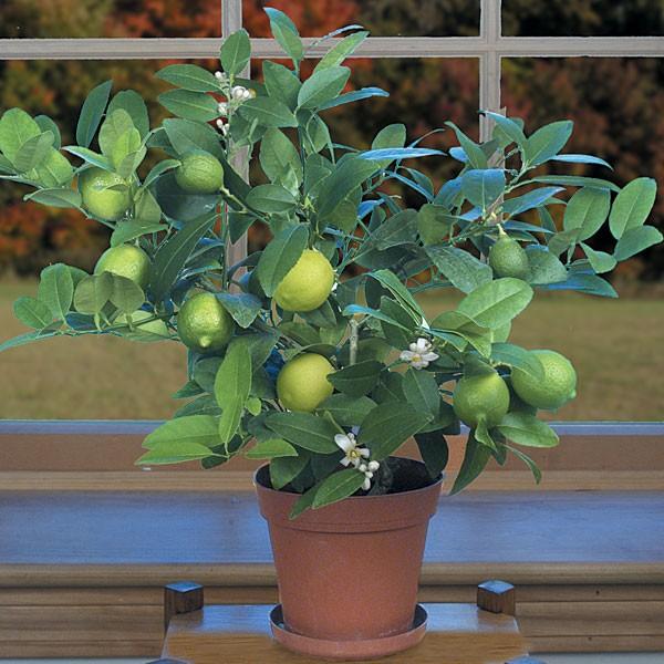 Супер kagdi лимон растения