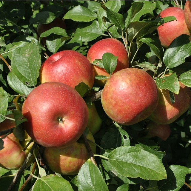 Wholesale Apple Fruit / Apple Fruit Fresh / Wholesale Prices Apple Fruit /