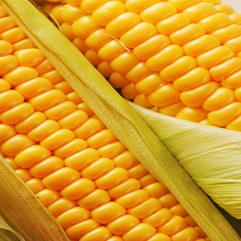 Yellow corn/maize for animal feed from South Africa