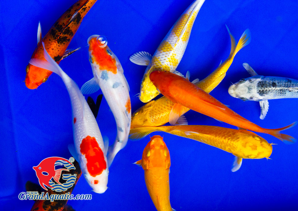 Koi fish bleeding farm and export from Thailand