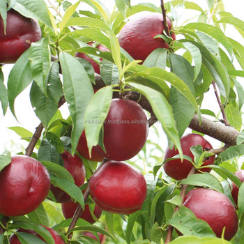 Pictures Of Nectarine Trees