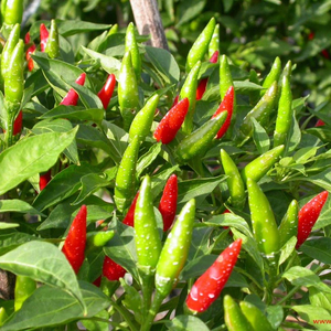OFFER THE Chilli Teja-without Stem WITH HIGH QUALITY AND BEST PRICE