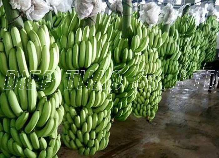 FRESH/ FROZEN CAVENDISH BANANA COMPETITIVE PRICE