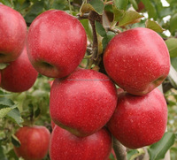 Apple fruit trees / Apple fruit plants / Fruit trees from nursery