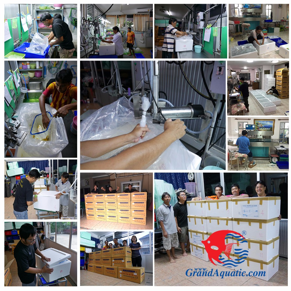 Freshwater Aquarium fish export company from Thailand