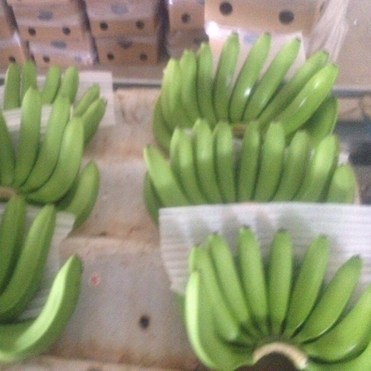 Vietnam Fresh Cavendish Banana price for buyers