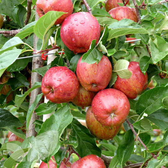 fresh apple/royal gala apple/fuji apples wholesale fruit prices