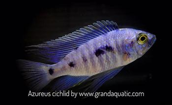 Cichlid Fish | Malawi Cichlid Fish Farm And Exporter Buy Cichlid Fish Aquarium