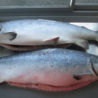 Atlantic Salmon Whole - Fresh available in different sizes