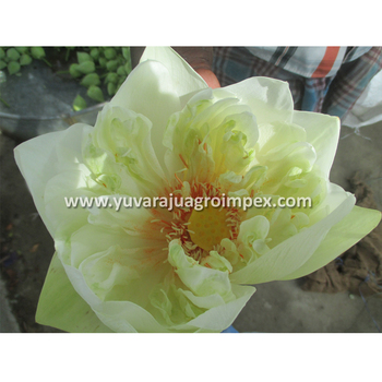 Fresh White Lotus Flower Bud Supplier In India Buy Lotus Flower