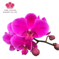 Queen Beer Orchid plants flower seedling wholesale
