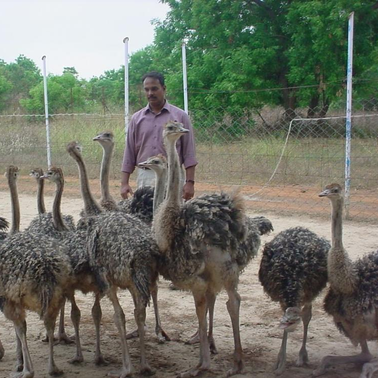 Ostrich Chicks  Live Ostrich Birds For Sale - Buy Canary Birds For  Sale,Quail Chicks For Sale,Ostrich Bird Product on Alibaba com
