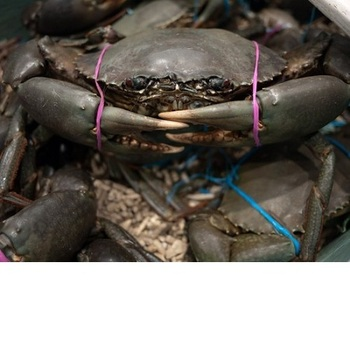 Highest Quality Seafood Mud Crab Price,Live Mud Crab For Sale - Buy Live  Mud Crabs Product on Alibaba com