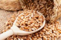 Wheat Grains for Sale