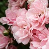 Pure and Natural Rose Essential Oil - DYNETON