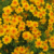 Tagetes 100% Pure and Natural Essential Oil