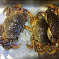 Frozen Dungeness Crab Legs for Sale|Quality Live Dungeness Crab|Wholesale Dungeness Crab Offer