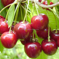 Cherry fruit trees / Sweet Cherry fruit plants / Fruit trees from nursery