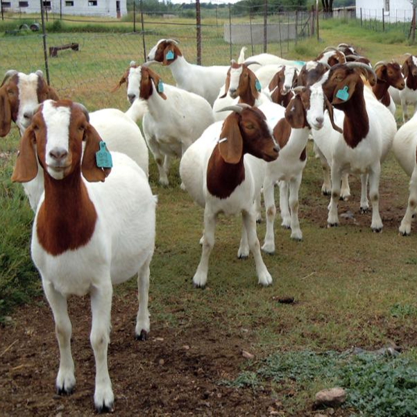 Grade A Full Blood Boer Goats,Live Sheep,Cattle,Lambs And Cows