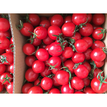 Perfect taste and high nutritional value hot fresh tomatoes for sale