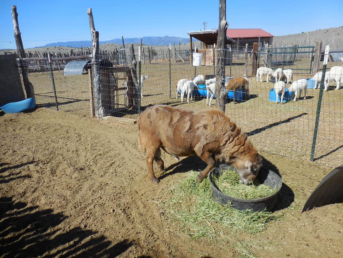 Live Dairy Sapi dan Hamil Holstein Sapi Sapi/Boer Kambing Live Domba, Sapi