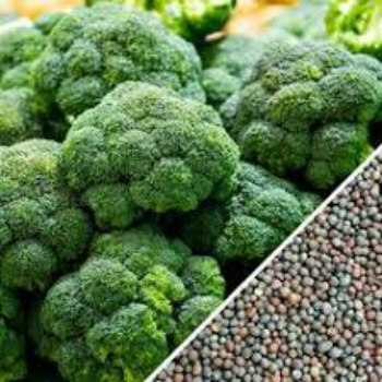 Broccoli Seeds For Sell