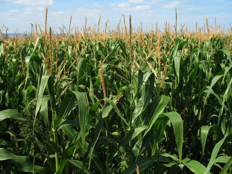 Argentine high-quality yellow corn