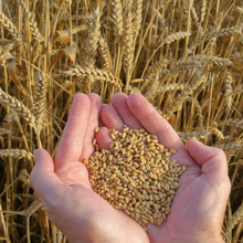 Premium Kazakh Wheat Grain 12.5% Protein From Kazakhstan