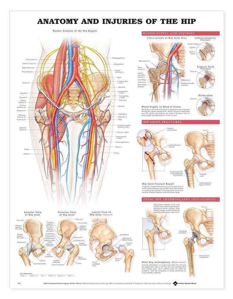 Cheap Hip Anatomy Find Hip Anatomy Deals On Line At Alibaba
