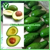 FROZEN AVOCADO FRUIT FROM VIETNAM_HIGH QUALITY_BEST PRICE