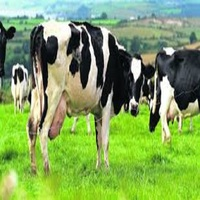 Pregnant Dairy Cattle For Sale / Holstein Heifer Cows For Sale