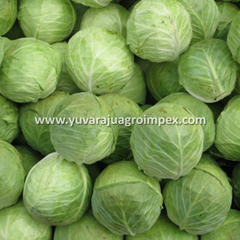 White Cabbage Supplier Maldives / Dubai / UAE / Kuwait, View Green Cabbage  Supplier Singapore / Malaysia / Dubai / Maldives, YAI Product Details from