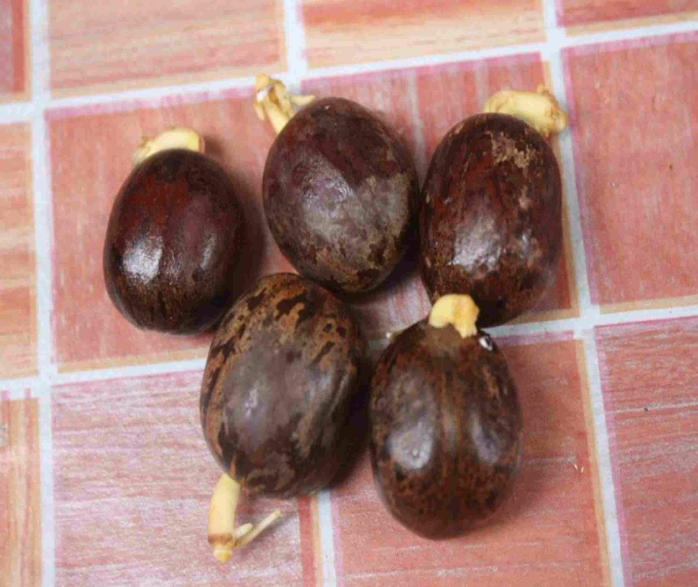 Hevea brasiliensis, Rainforest Alliance, Rubber Tree Seeds