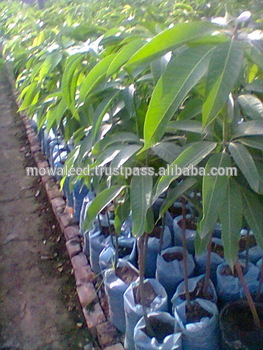 Mango Tree Plant Supplieranufacturers At Alibaba