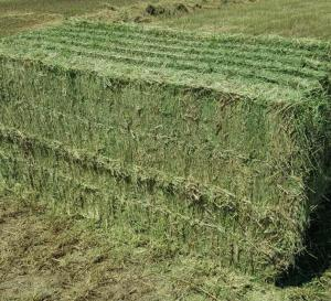 Alfalfa Hay , High quality , fresh crop