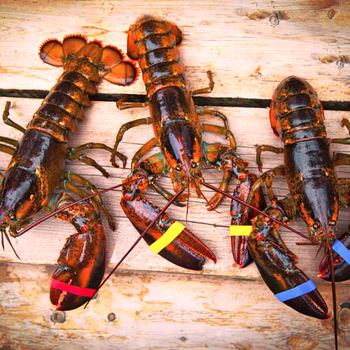 Live Caribbean Spiny Lobsters