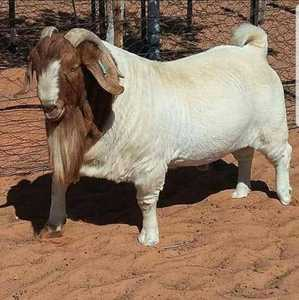100% Full Blood Boer Goats and baby Boer Goats for sale