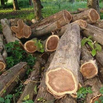 Ash Logs Teak Timber Wood Logs Buy Ash Logs Teak Timber Wood Logs Raw Wood Logs Natural Teak Wood Burma Teak Teak Wood Logs Available Product On