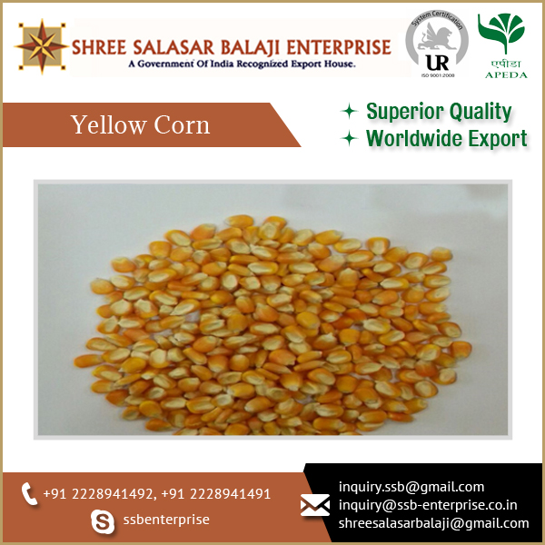High Quality Yellow Corn Feed /Maize/ Feed Corn Available at Best Market Price
