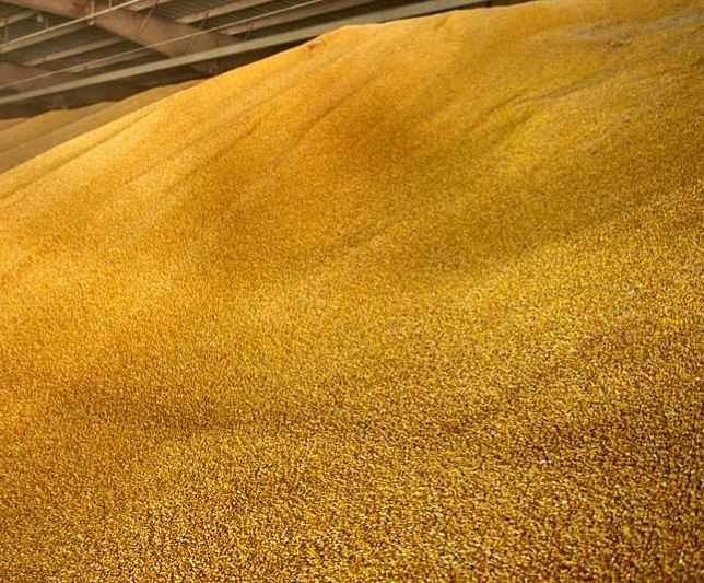 Yellow Corn/Maize for Animal Feed / Yellow Corn For Poultry Feed Available