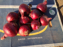 High quality lowest price fresh red onion for sale with fast delivery from Egypt