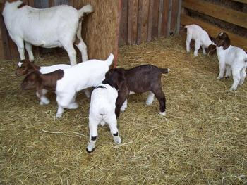 Baby Boer Goats For Sale Buy Boer Goats Product On