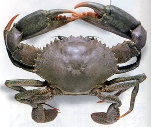 Live mud Crab export from Sri Lanka