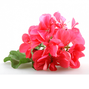Anti aging Essential Geranium Oil Suppliers