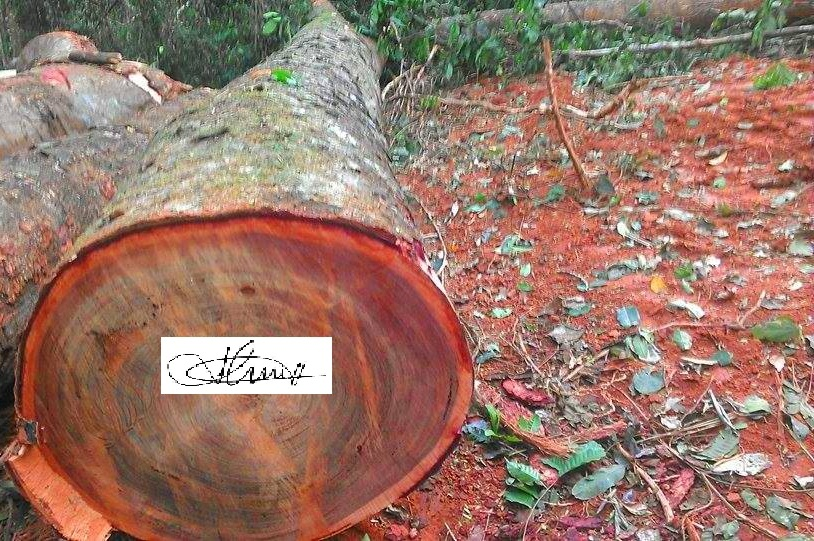 premium grade mahogany round logs 500 - 600 mm for sale