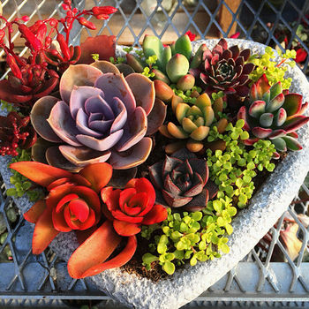 500pcs Mixed Succulent Seeds Lithops Rare Living Stones Plants Cactus Home  Plant - Buy Succulent Seeds Product on Alibaba.com