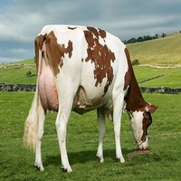 **Able Pregnant Dutch Holstein Heifers/Holstein heifers / Friesian cattle , Aberdeen Angus Fattening Beef,Live Dairy Cows**...