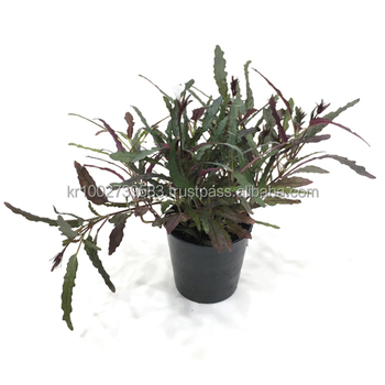 House Plants Dragon S Tongue Hemigraphis Repanda By Joinflower Joinfolia Buy House Plants Home Garden Indoor Plants Product On Alibaba Com