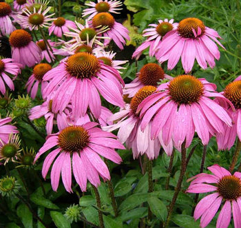Natural plant extract, Extract echinacea